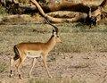 Free Impala Royalty Free Stock Image - 1129956