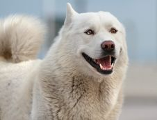 Smiling Husky Dog Royalty Free Stock Image