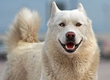 Smiling Husky Stock Image