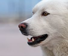 Free Portrait Of Husky Dog Stock Images - 1122284