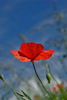 Free Poppy Stock Photos - 1122843