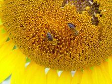 Free Sunflower Royalty Free Stock Image - 1123656