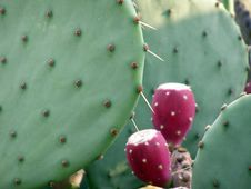 Free Cacti Royalty Free Stock Photos - 1123678