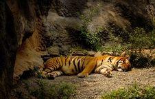 Free Sleeping Tiger Royalty Free Stock Images - 1124859