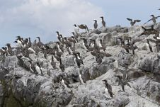 Free Guillemots160 Royalty Free Stock Images - 1125519