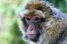 Shock The Monkey Royalty Free Stock Image