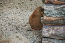 Free Hey, Anybody There (Prairie Dog) Royalty Free Stock Photos - 1126698