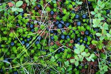 Free Berries And Moss Royalty Free Stock Image - 1128256