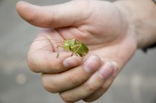 Free Grasshopper In Workers  Hand Stock Image - 1128691