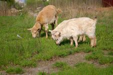Free Goats Eating Royalty Free Stock Image - 1128706
