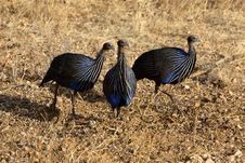 Free Vulturine Guineafowl Trio Royalty Free Stock Images - 1129959