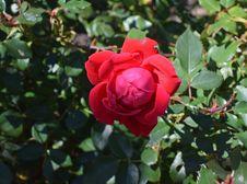 Free Rose, Rose Family, Flower, Floribunda Stock Image - 112041811