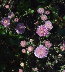 Free Flower, Plant, Flora, Aster Royalty Free Stock Images - 112041859