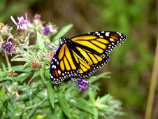 Free Butterfly, Monarch Butterfly, Moths And Butterflies, Insect Royalty Free Stock Photos - 112043198