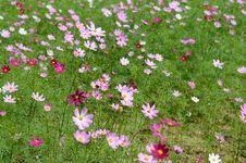Free Flower, Garden Cosmos, Flowering Plant, Plant Stock Photos - 112044023