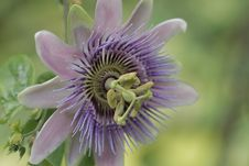 Free Flower, Passion Flower, Plant, Passion Flower Family Stock Photos - 112044403