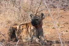 Free Hyena, Wildlife, Mammal, Lycaon Pictus Royalty Free Stock Photos - 112044868