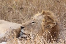 Free Wildlife, Lion, Terrestrial Animal, Masai Lion Stock Photography - 112044902