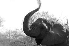 Free Elephants And Mammoths, Elephant, Black And White, Monochrome Photography Stock Image - 112044921