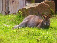 Free Wallaby, Macropodidae, Fauna, Mammal Royalty Free Stock Images - 112045079