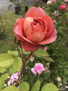 Free Rose, Flower, Rose Family, Pink Stock Image - 112045211