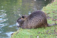 Free Beaver, Fauna, Mammal, Otter Stock Photography - 112045282
