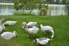 Free Duck, Water Bird, Bird, Ducks Geese And Swans Stock Photo - 112045370