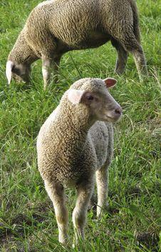 Free Sheep, Grazing, Grass, Pasture Stock Image - 112045681