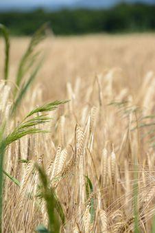 Free Food Grain, Wheat, Crop, Triticale Stock Image - 112045821
