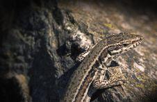 Free Reptile, Scaled Reptile, Fauna, Lizard Stock Photos - 112046413