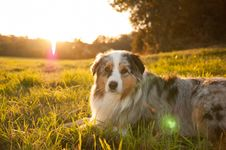 Free Dog, Dog Breed, Grass, Dog Like Mammal Royalty Free Stock Photo - 112056945