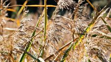 Free Grass Family, Grass, Close Up, Phragmites Stock Photography - 112057132