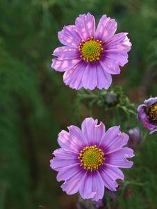 Free Flower, Aster, Purple, Garden Cosmos Royalty Free Stock Image - 112057276