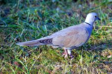 Free Bird, Pigeons And Doves, Fauna, Stock Dove Royalty Free Stock Photo - 112057285