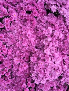 Free Pink, Flower, Plant, Purple Stock Photography - 112057892
