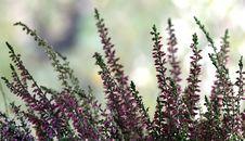 Free Plant, Purple, Flower, Lavender Stock Image - 112058141