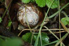 Free Snail, Snails And Slugs, Terrestrial Animal, Molluscs Royalty Free Stock Image - 112059106