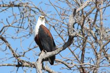 Free Bird, Eagle, Bird Of Prey, Accipitriformes Stock Image - 112059161