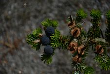 Free Flora, Tree, Pine Family, Conifer Stock Images - 112059254