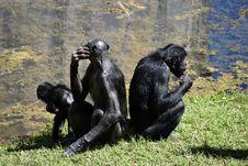 Free Chimpanzee, Common Chimpanzee, Great Ape, Mammal Stock Photos - 112059533