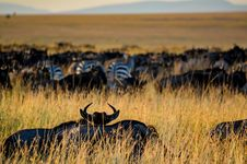 Free Herd Of Zebra On Grass Field Stock Image - 112089891