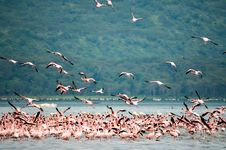 Free Flock Of Flamingo Standing On Body Of Water Over Viewing Trees Royalty Free Stock Photo - 112089895