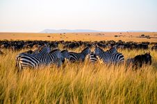 Free Zebra Eating Grass Stock Images - 112089904