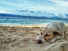 Free Dark Yellow Labrador Retriever Lying On The Sea Shore Royalty Free Stock Image - 112089936