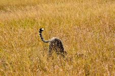Free Cheetah On Brown Grass Field Photo Stock Images - 112089984