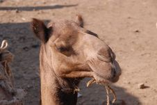 Free Camel, Camel Like Mammal, Arabian Camel, Terrestrial Animal Royalty Free Stock Photo - 112120385
