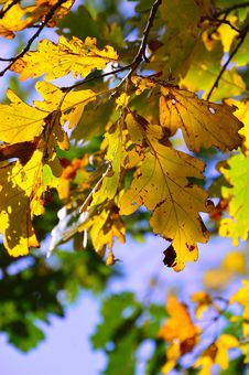 Free Leaf, Yellow, Autumn, Tree Royalty Free Stock Image - 112120446