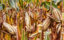 Free Food Grain, Maize, Commodity, Grass Family Royalty Free Stock Photo - 112120665