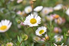 Free Flower, Flora, Plant, Daisy Family Stock Image - 112120711