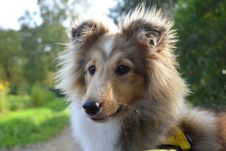 Free Dog, Dog Breed, Rough Collie, Scotch Collie Stock Photos - 112120713